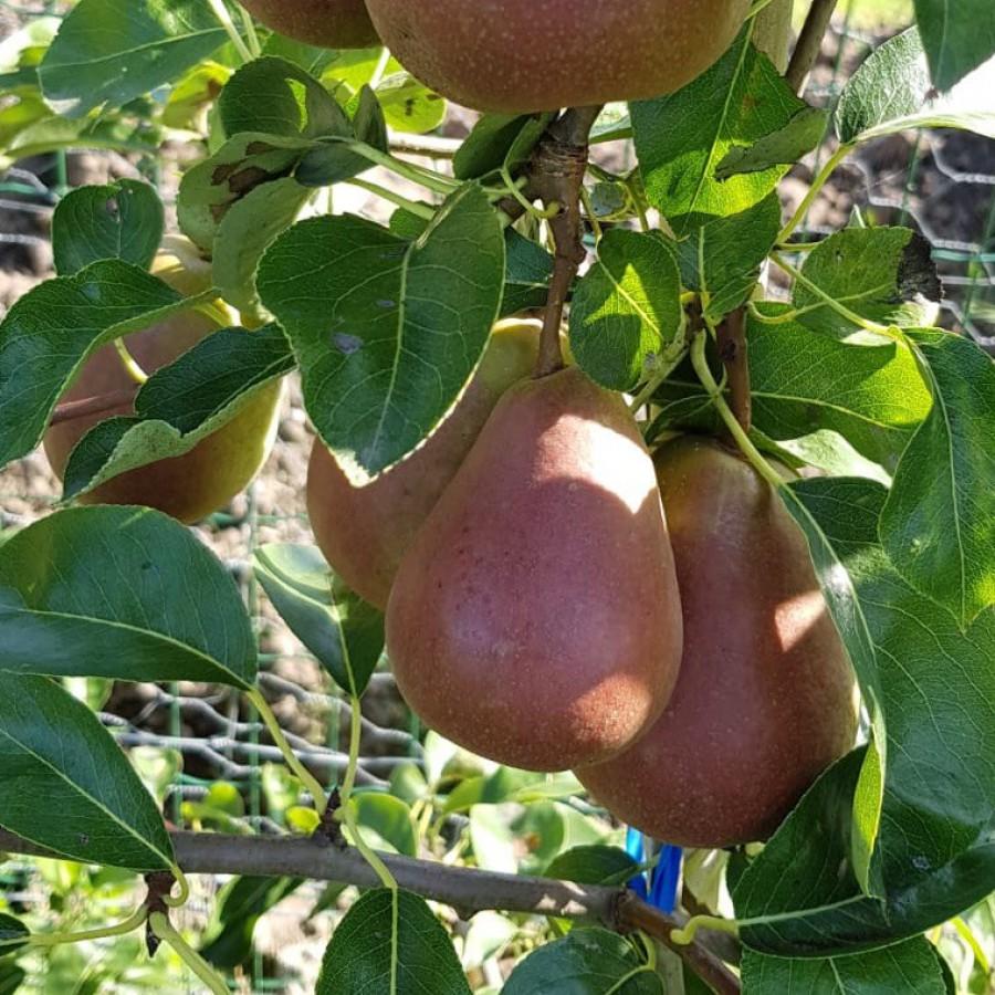 Wat je moet weten over peren