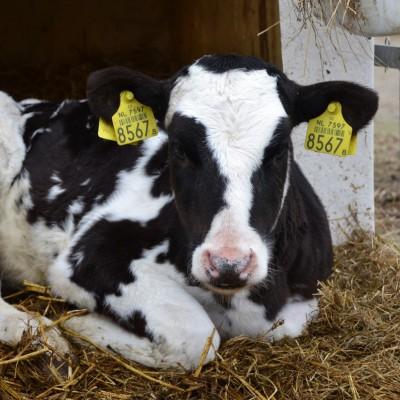 Onder de loep - Kalf bij koe?